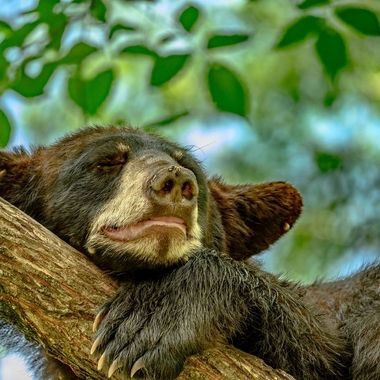 Young Black Bear seemed to be enjoying it's nap despite the ticks and flies!
