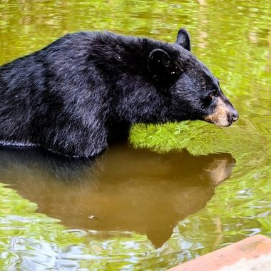 Taking a break from it's bear business this black bear found it refreshing to pause and reflect a while and for that I am thankful!