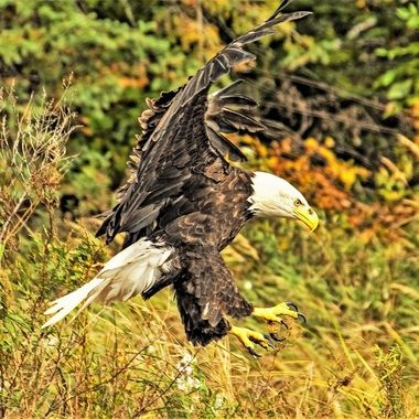 This eagle was coming in hot with talons bared ready to rock!