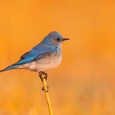 Mountain Bluebird DSC0116