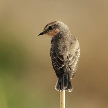 Vermilian Flycatcher Juvenile DSC01888