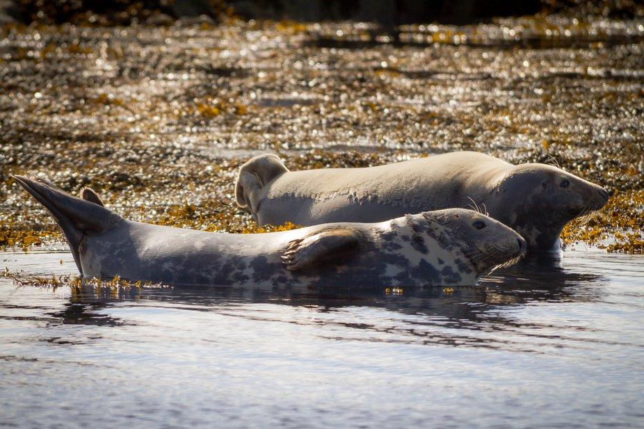 Seals in Scotland, Phoca vitulina