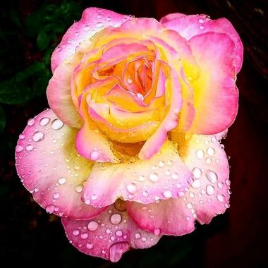 A nice macro shot of a flower in the wet