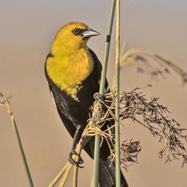 Yellow-headed Blackbird DSC00896