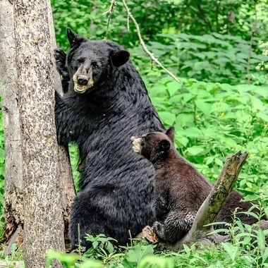 This sow black bear seemed to be showing her young cub something as it watched on intently
