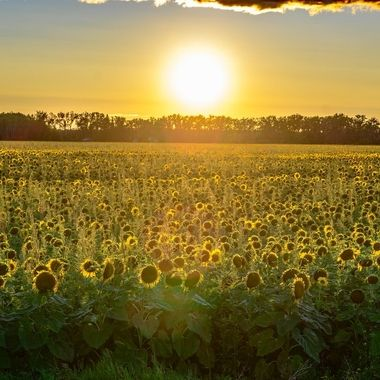 Catching the last rays of sun for the day over this sunflower field