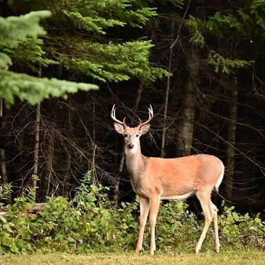 This nice whitetail buck just polished the velvet off it's antlers and is shedding it's summer coat for a darker heavier winter one