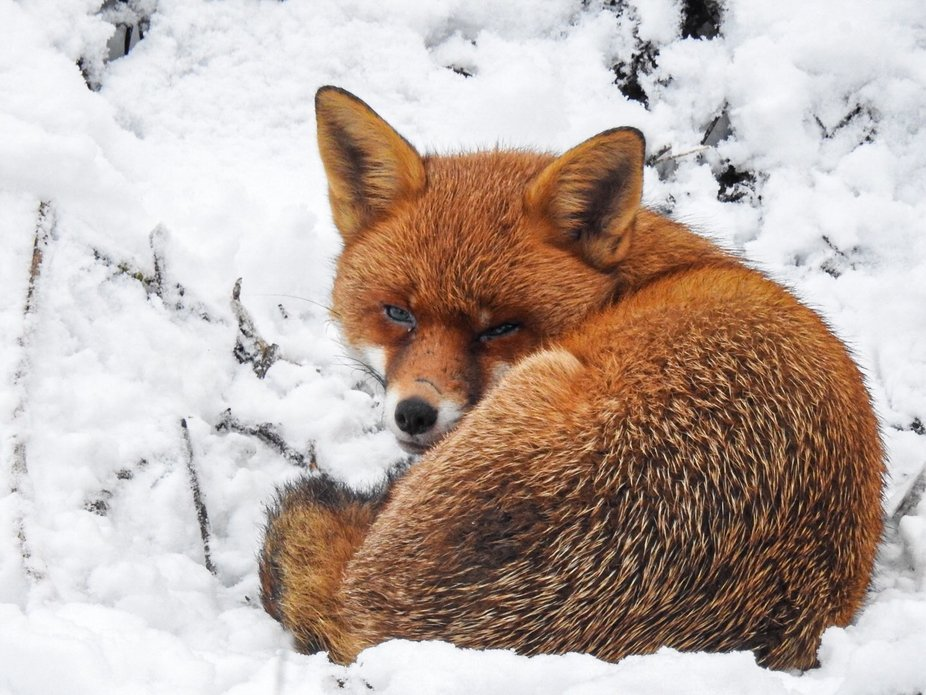 Perfect Moment with Mama Fox resting in the snow,