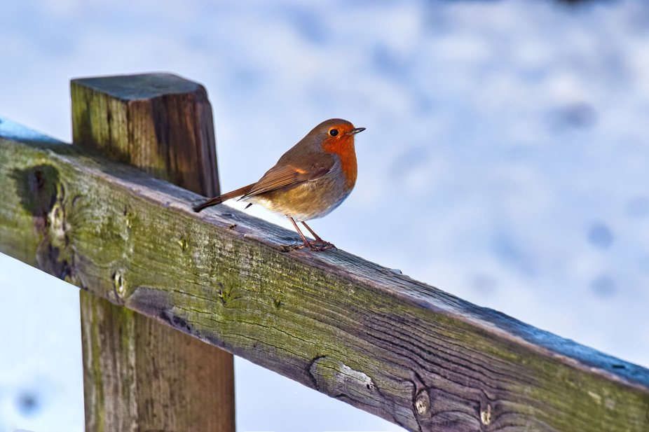 Robin sitting on a fence in snow.