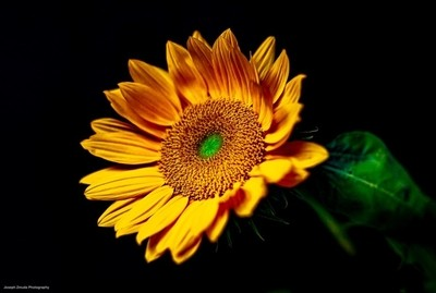 Helianthus, The Sun Goddess