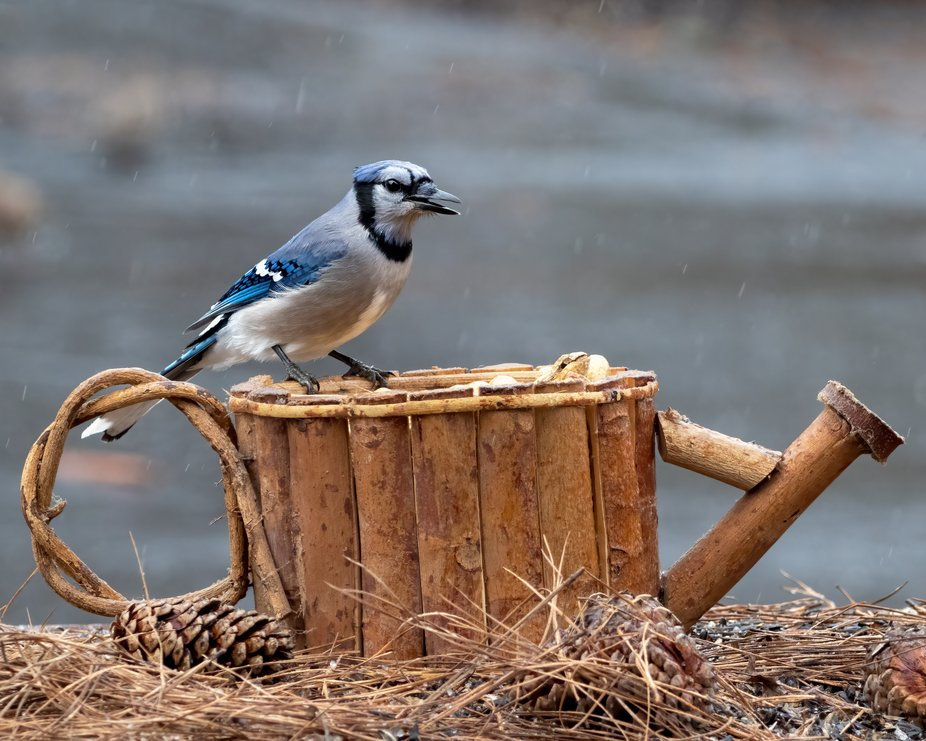 Hungry Blue Jay in the Rain
