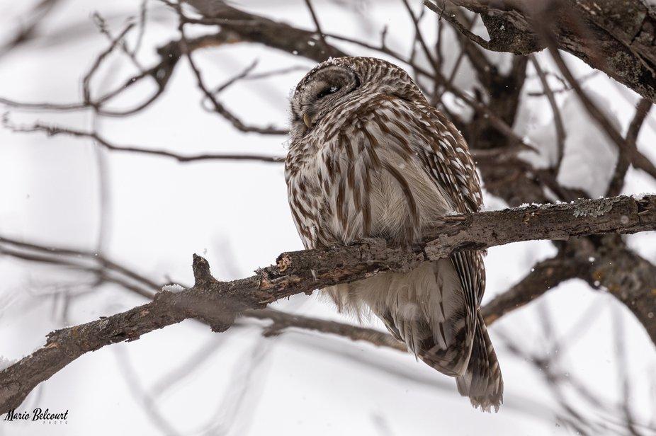Chouette rayée / Barred owl 12-01-25