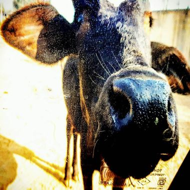 Interesting Fact - Cows in India are considered as a sacred symbol of life that should be protected and revered   This was captured while taking a small drive in the Indian Community