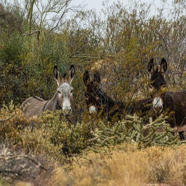 Trio of wild burro's along castle Hot Springs Rd.