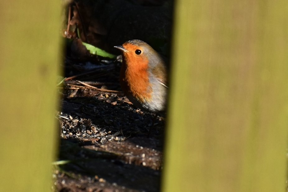 Another Robin, this one was finding bits of food that has fallen from a bird table. I saw the fen...