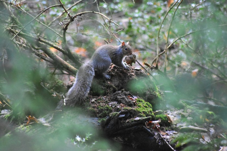 A wonderful grey squirrel standing proud and thankfully fairly still for this image. I love all w...