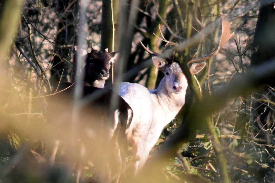 So, here is something special, this is a white albino deer. I was so lucky to be in the right pla...