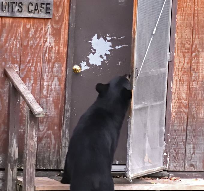 This mischievous young black bear figured out how to open doors, causing some excitement at times