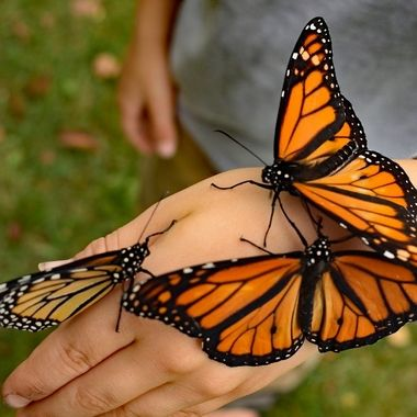 Monarch butterflies gathered on this young guys hand at a butterfly release for Hospice