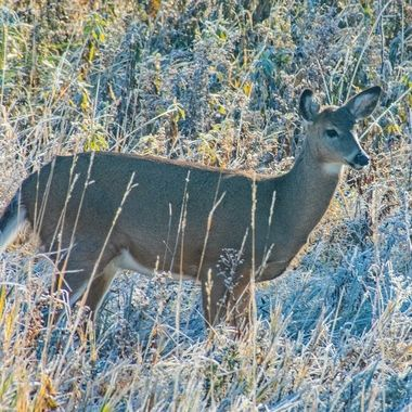 Happy Whitetail doe checking out the frosty grass behind our house