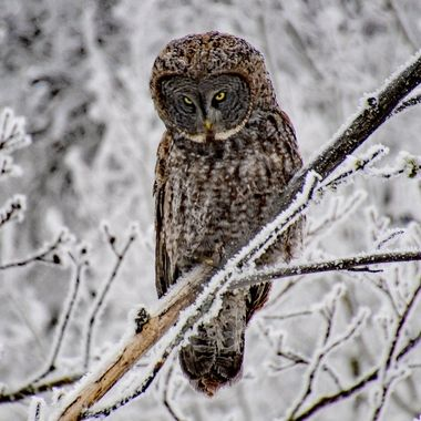 Love it when they tilt their head and look at you that way, almost like a person. Like seriously dude, you again how's an owl suppose to catch a nap!