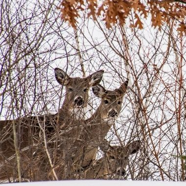 These three Whitetail does watched intently as I plowed snow, I am pretty sure they thought I couldn't see them