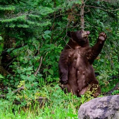 Black bear scratching its back on a balsam tree