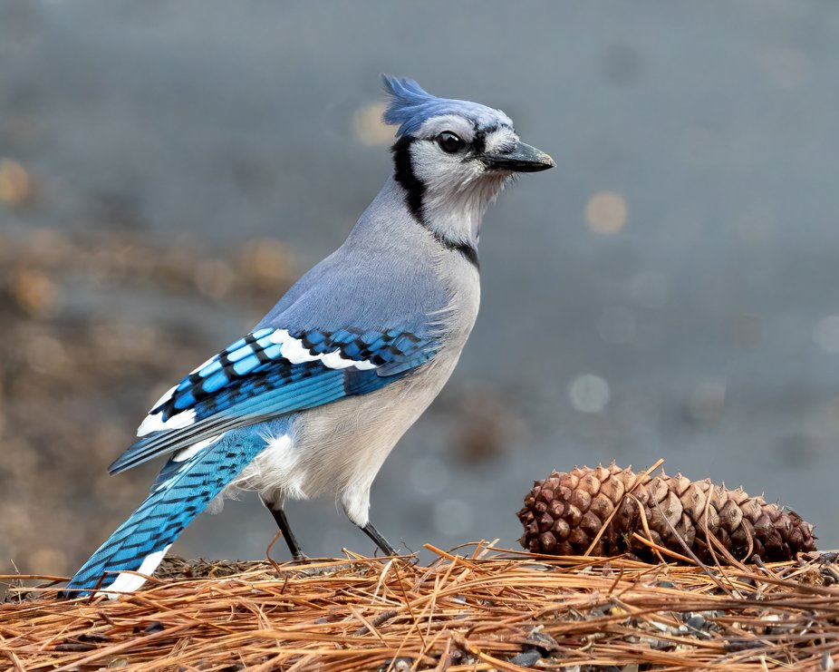 I call this pretty girl Matilda. She is the only blue jay that I can recognize out of the other 8 or 9 I see regularly. Females and males look just alike except females tend to be smaller. The best way to tell them apart is behavior. I always recognize Matilda because I've been watching her since she was a juvenile. She's smaller than all the other jays and the crest on the top of her head looks different, too. Plus she's noisier and isn't as afraid of me as the others. I'll put a link to a picture of her as juvenile in the comments. She has her mouth open, squawking in it - typical behavior for her!