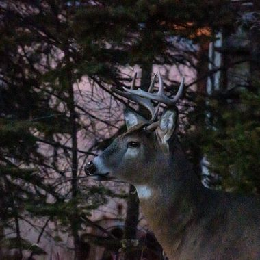 This nice whitetail buck will be a real beauty next year. Shot this photo at last light along Hwy. 332