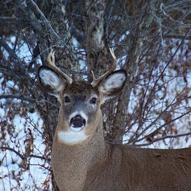 This young whitetail buck was in full rut when it visited our yard looking for left overs around the apple trees
