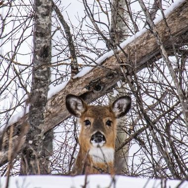 This whitetail doe was checking to see if I was still there as it snuck along a ridge