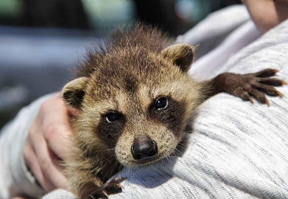 Adorable baby raccoon