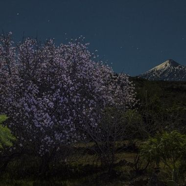 Blossom of the almond trees