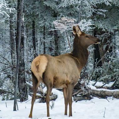 Cow elk taking in the frosty morning