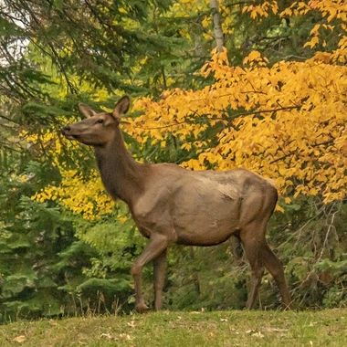 Cow Elk out for a stroll in the fall colors