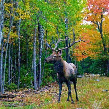 Herd bull elk during the rutting season