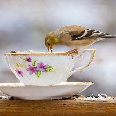 Birdseed Tea for a Goldfinch