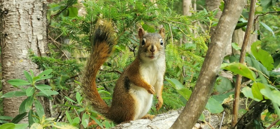 A lovely Curious Squirrel in the forest of Charlevoix Near the palissade de Charlevoix, a beautif...