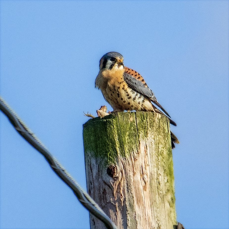 American Kestrel with it's catch of the day...