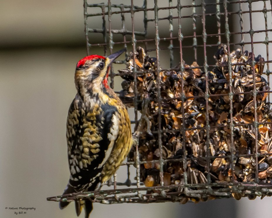 A Yellow Bellied Sapsucker