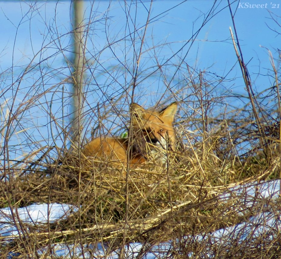 A fox basking in the sun on a cold winter's day.  Washington County, NY 2021