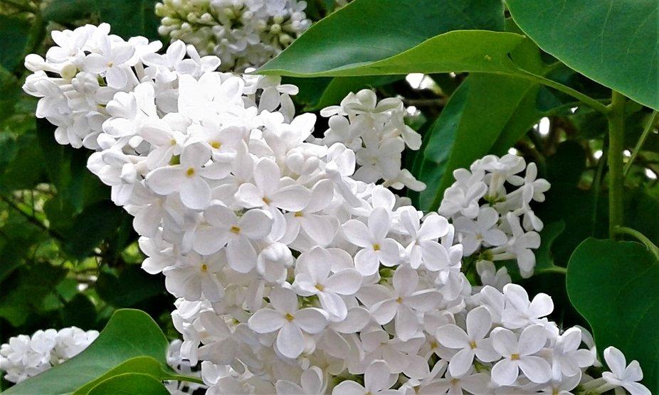 De dufter så skønt, så er foråret på vej.
