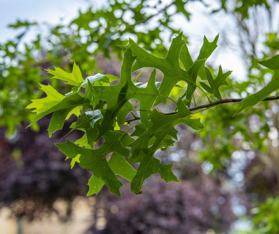 Leaves on an oak tree