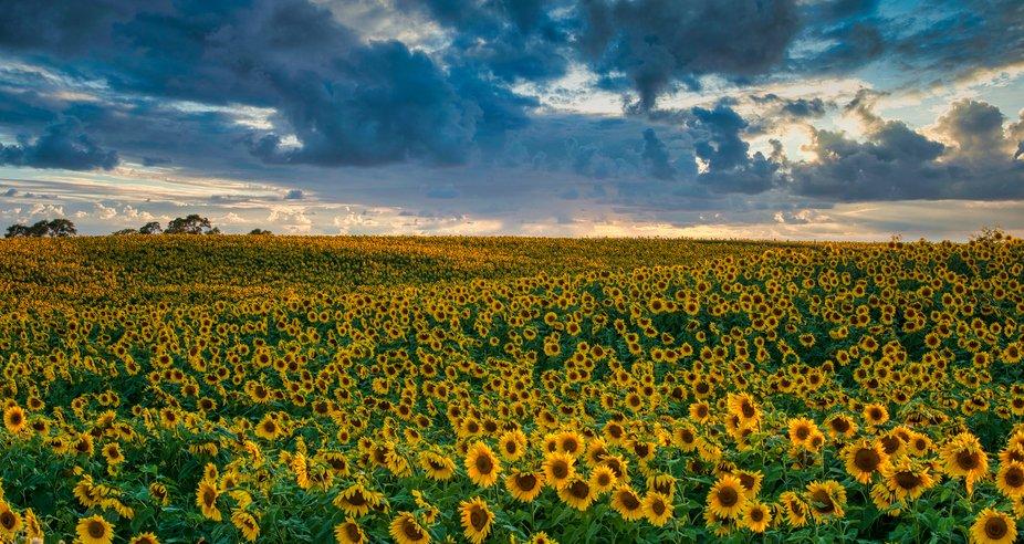 Field of Summer Sunflowers