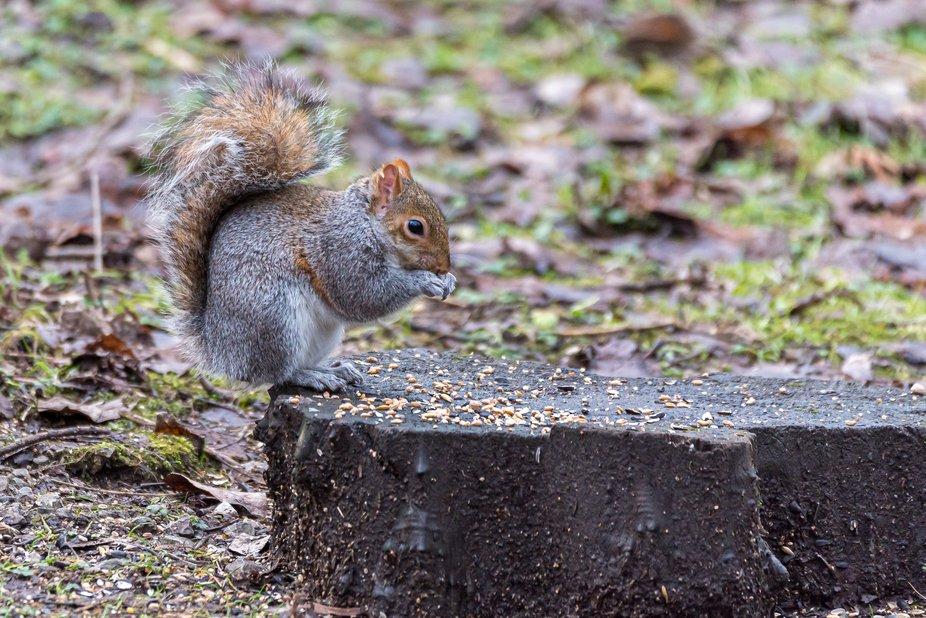 TS_02-21-Grey Squirrel