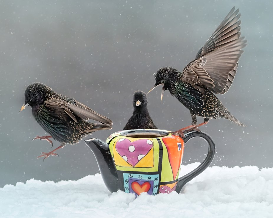 Starlings in the snow