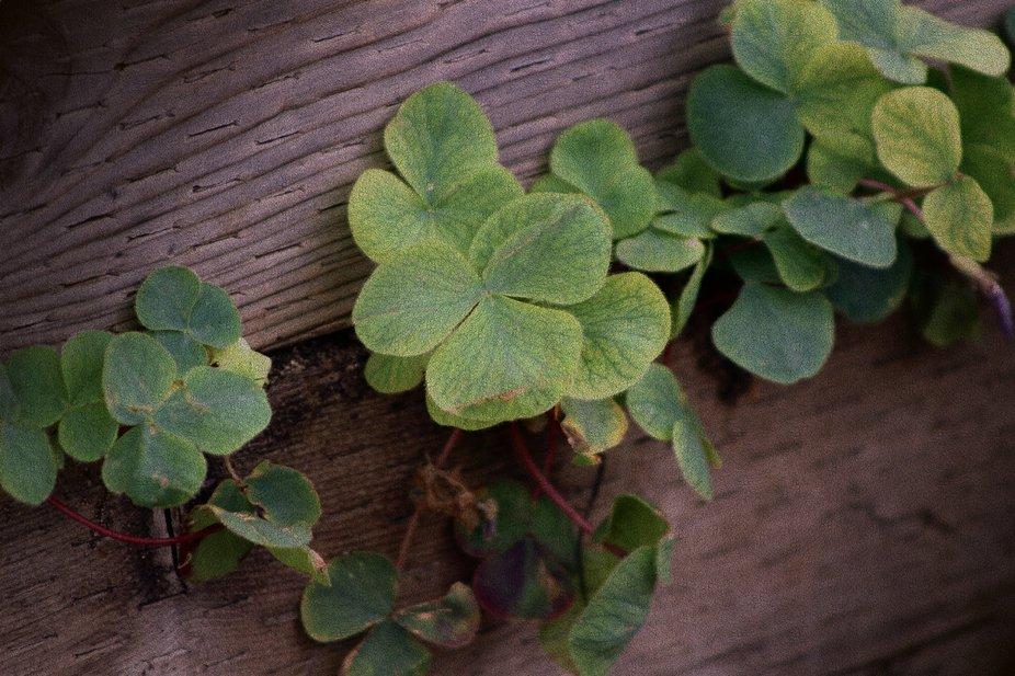 """""""Lucky or Determined? Saint Patricks Day Shamrocks"""" is a digitally altered phot..."""