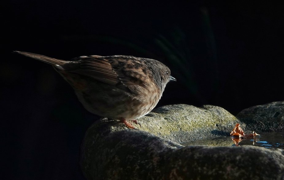Dunnock taking a drink at first light
