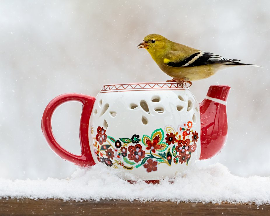 American Goldfinch on a Snowy Day