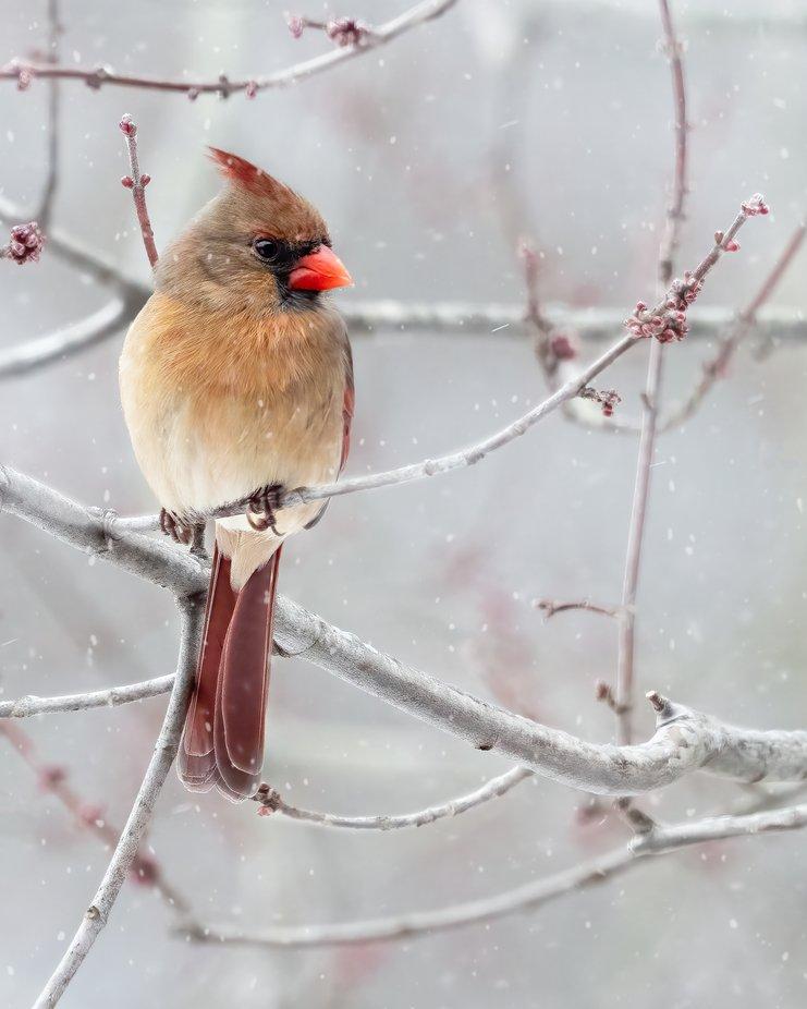 Female Cardinal on a Snowy Day
